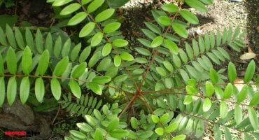 LONGJACK Eurycoma Longifolia